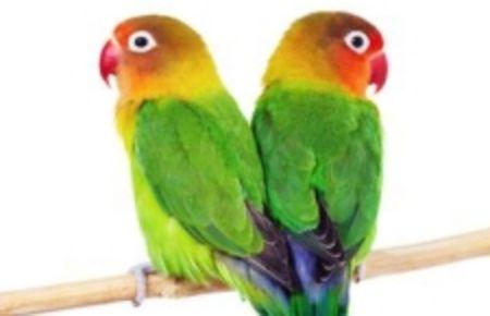 Obrázek pro kategorii Střední papoušek