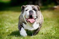 Má váš pes nadváhu? Dbejte následujících pokynů a zachraňte mu život