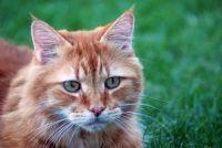 Vhodné krmivo pro stárnoucí kočku