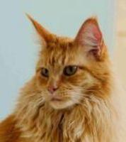 Rozmnožování koček - kastrace, říje a březost