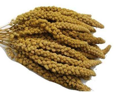 Obrázek Senegalské proso žluté klasy 100 g